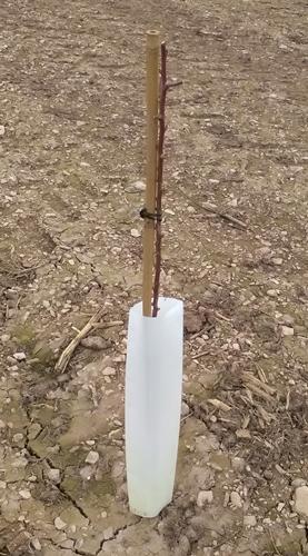Bambu-almendros