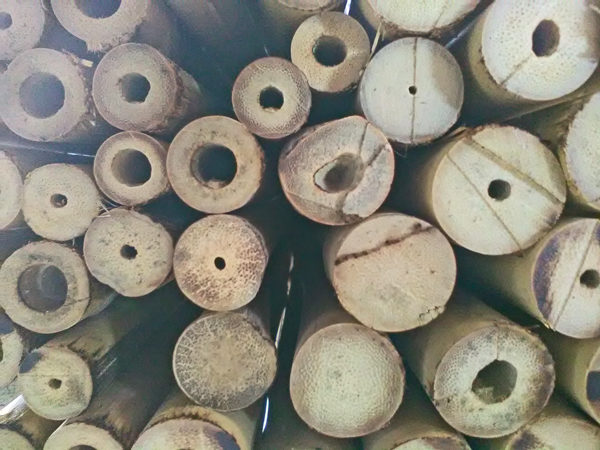 bambu tailandes